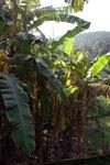 Banana_trees