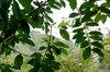 Incencse_tree
